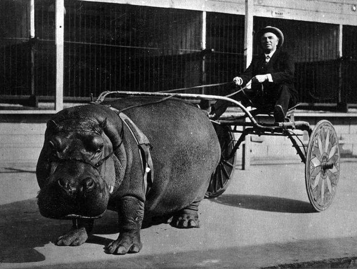 Un hipopótamos del circo tirando de un carro en 1924